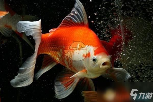 《集合啦动物森友会》金鱼怎么样 金鱼图鉴介绍